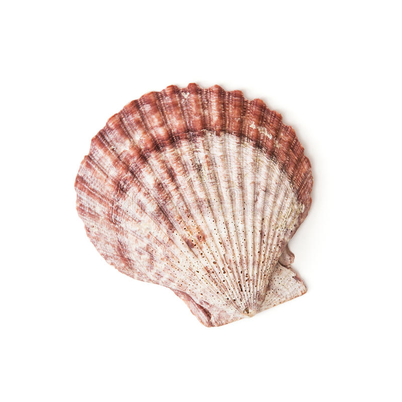 Shell aislado del mar foto de archivo