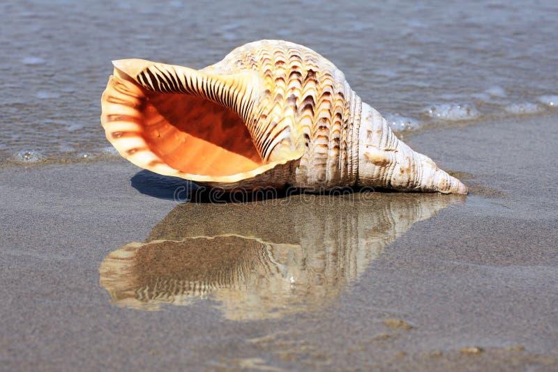 Shell auf Strand lizenzfreies stockfoto