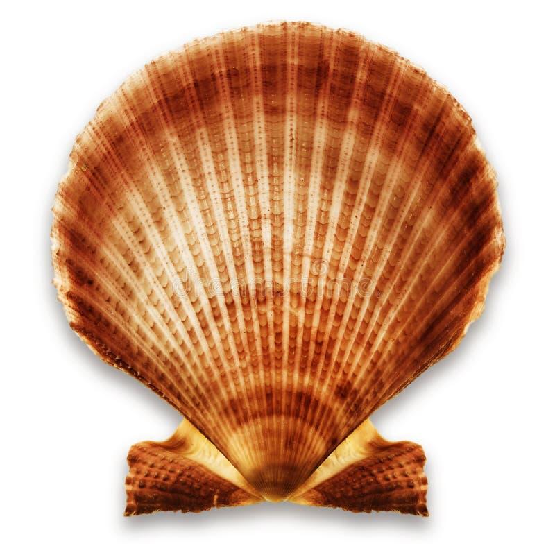 Shell auf Weiß lizenzfreie stockfotografie