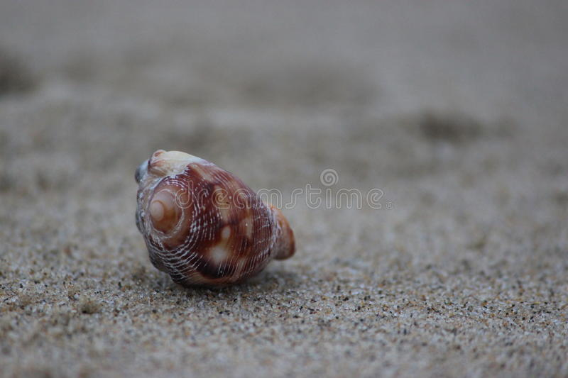 Shell on the beach, abandoned by the sea. stock photo