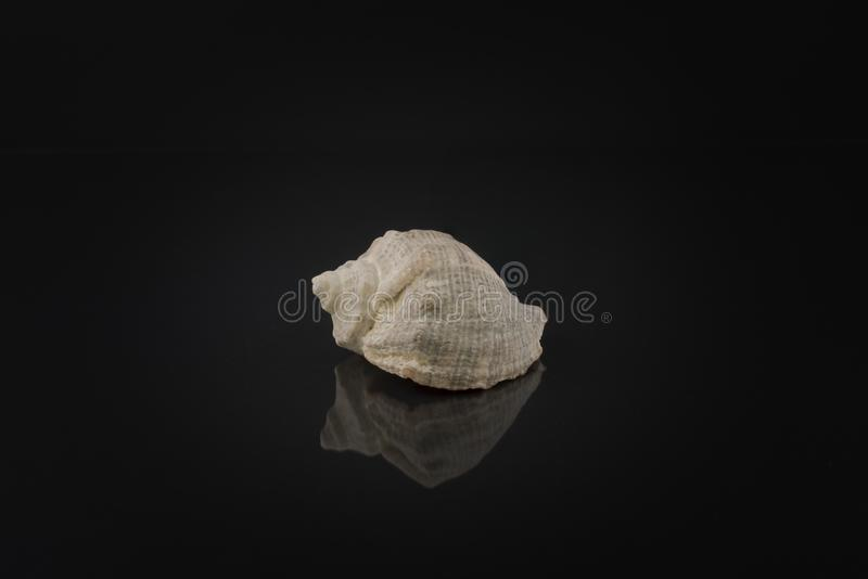 shell from Black Sea on black background with reflection royalty free stock photography