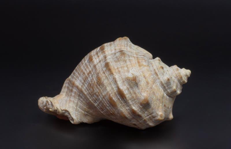 Shell ilustración del vector