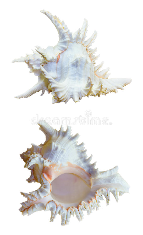 Shell of Chicoreus Ramosus, Ramose Murex royalty free stock photo