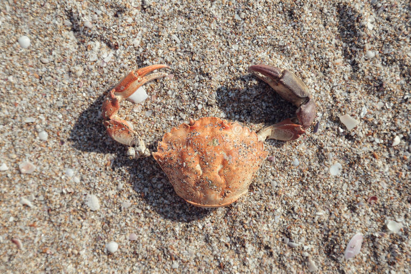 The shell of a crab, washed up on damp grey beach sand. Close up view, top view royalty free stock image