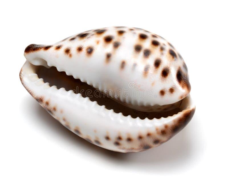 Shell Cypraea Τίγρης στο λευκό στοκ εικόνα