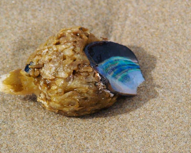 Shell da alga e dos moluscos foto de stock royalty free