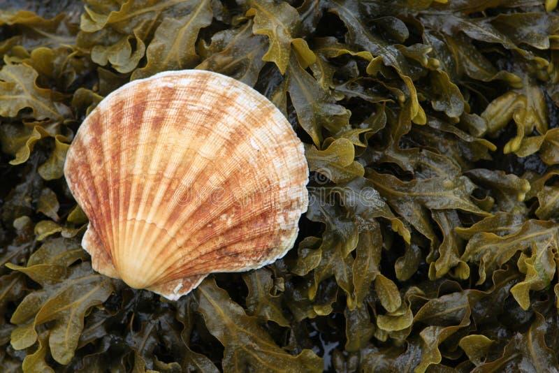 Shell de concha de peregrino en alga marina imagen de archivo