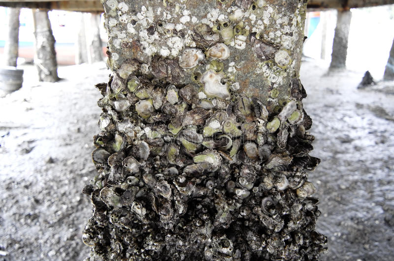 Shell de ostra foto de stock royalty free