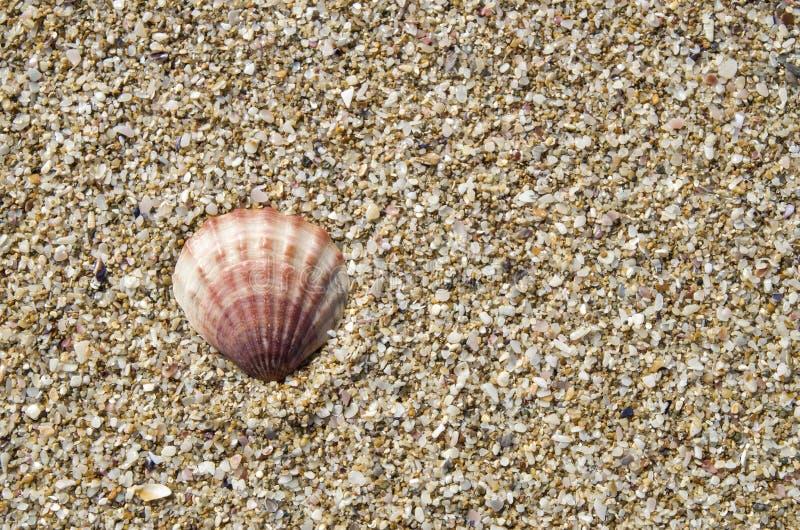 Shell de pecten o ponticus na areia imagem de stock royalty free