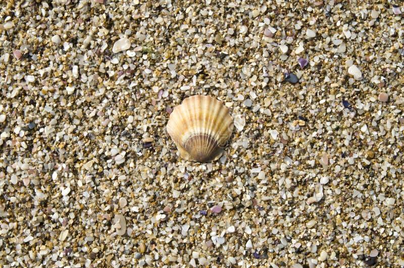 Shell de pecten o ponticus na areia foto de stock royalty free