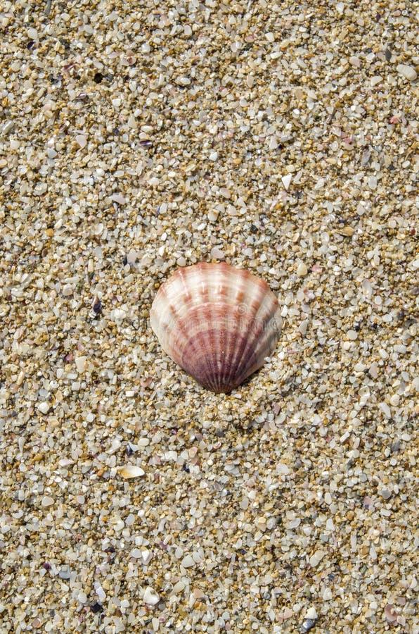 Shell de pecten o ponticus na areia fotos de stock royalty free