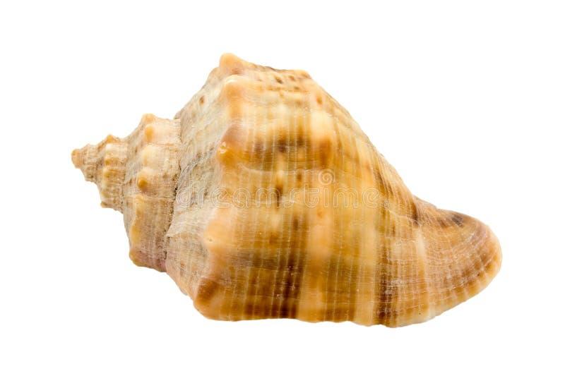 Shell del caracol del Murex fotos de archivo