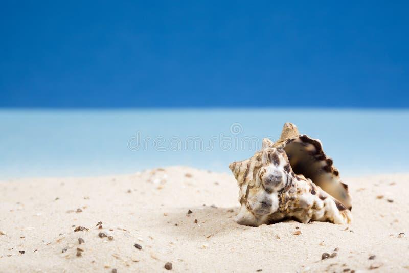 Shell del caracol en arena en la playa imagenes de archivo