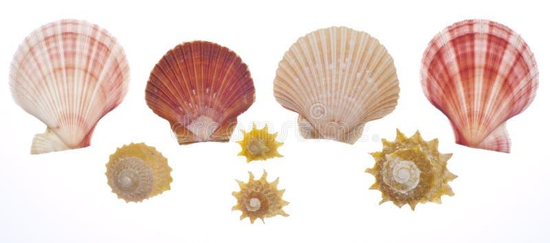 Shell del mar aislado en blanco foto de archivo libre de regalías