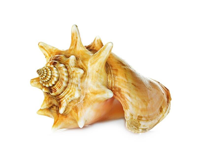 Shell del mar aislado en blanco fotografía de archivo