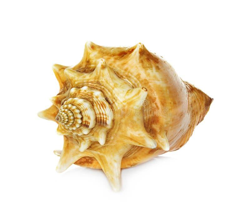 Shell del mar aislado en blanco fotos de archivo