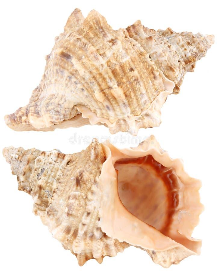 Shell del mar aislado en un blanco imagen de archivo libre de regalías