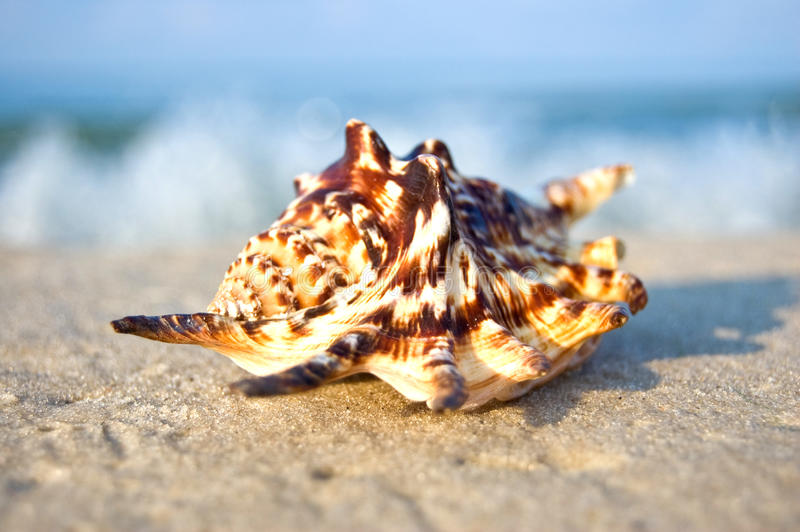 Shell del mar con el océano en fondo. imagen de archivo libre de regalías