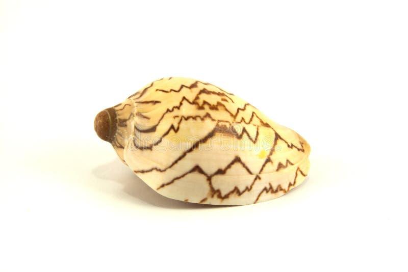 Shell del mar en el fondo blanco fotos de archivo libres de regalías