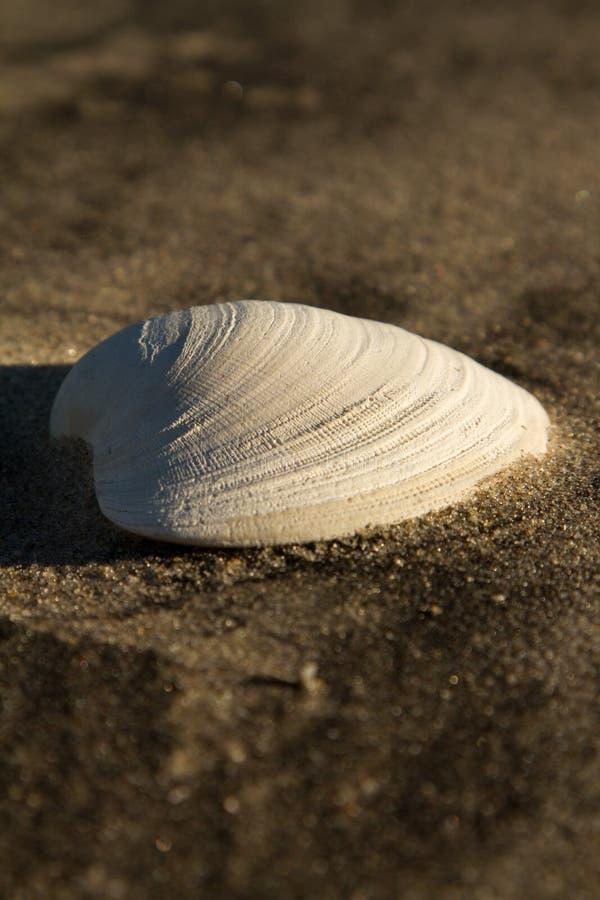 Shell del mar en la playa arenosa imagen de archivo libre de regalías