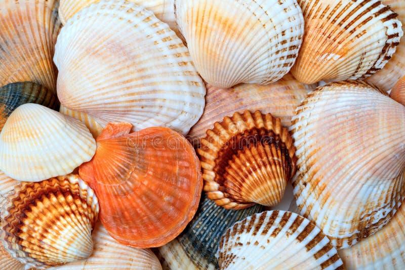 Shell do anadara e das vieiras fotos de stock royalty free