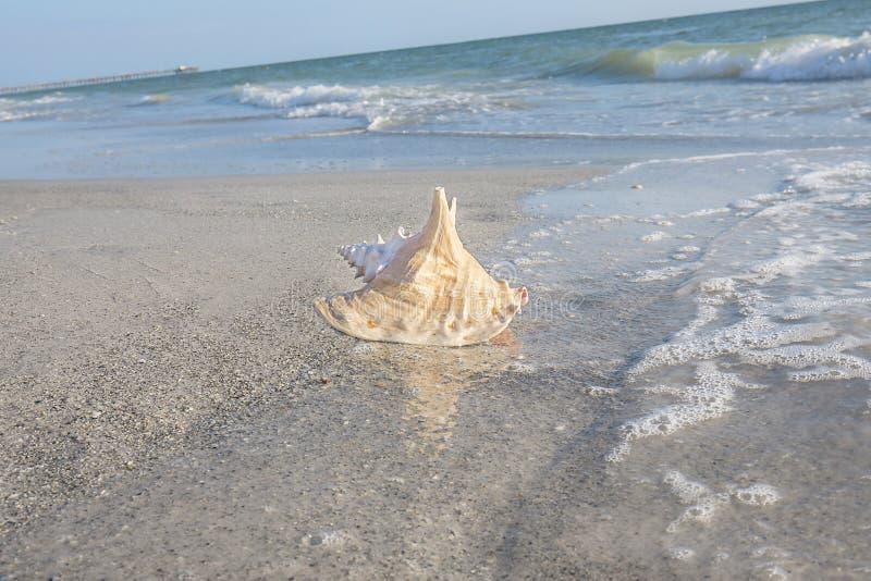 Shell do búzio na praia fotografia de stock royalty free