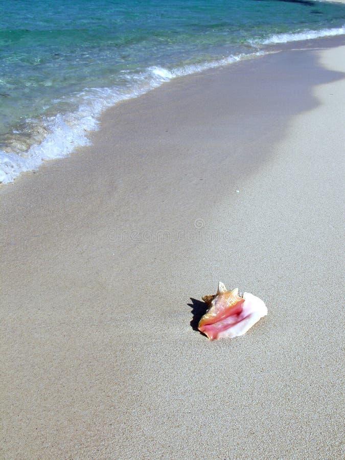 Shell do búzio na praia abandonada bonita imagem de stock royalty free