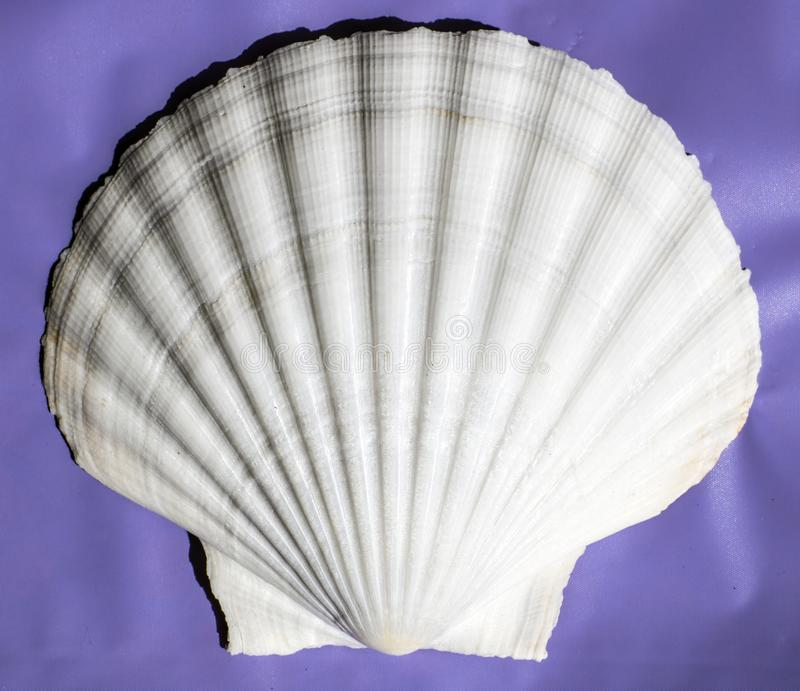 Shell do ` da vieira do ` muito grande grande da ilha de Masirah, Omã, Oceano Índico fotografia de stock royalty free