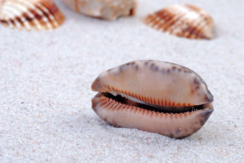 Shell do mar na areia foto de stock