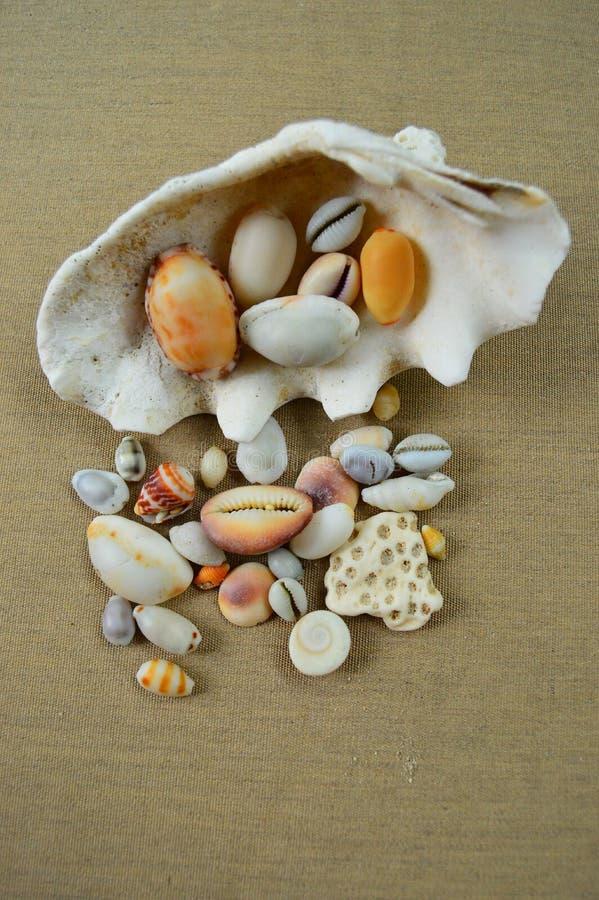 Shell do Oceano Índico fotos de stock