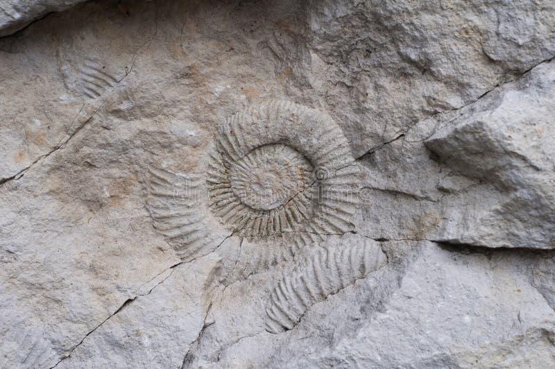 Shell dos fósseis na rocha branca fotografia de stock