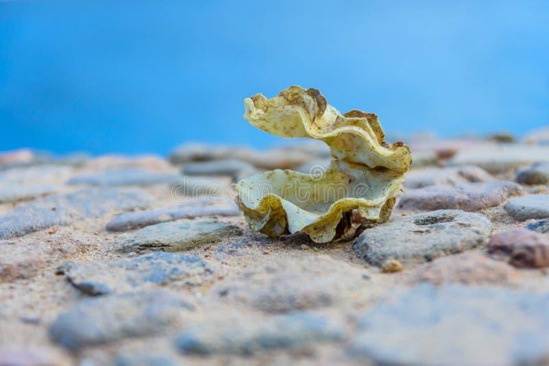 Shell du mollusque de tridacna La Mer Rouge sur le fond image libre de droits