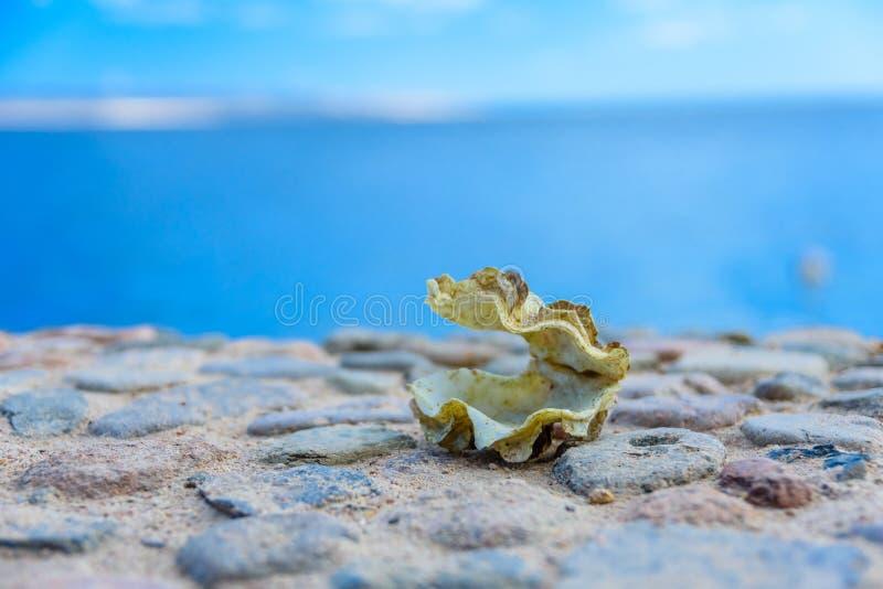 Shell du mollusque de tridacna La Mer Rouge sur le fond images stock