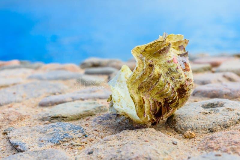 Shell du mollusque de tridacna La Mer Rouge sur le fond image stock