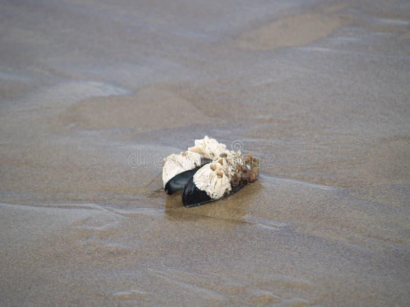 Shell e barnicals dos moluscos fotografia de stock royalty free