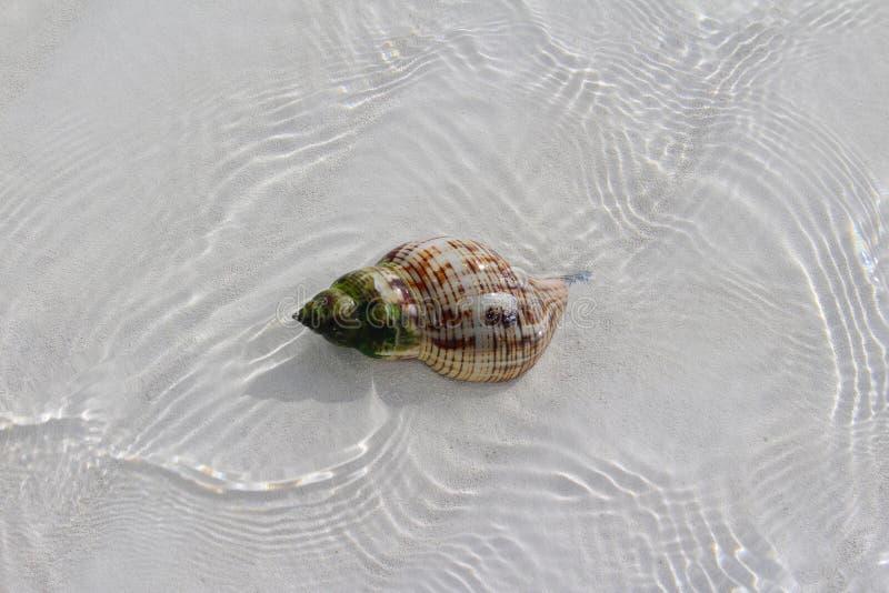 Shell in einem Strand von einer Karibikinsel lizenzfreies stockfoto