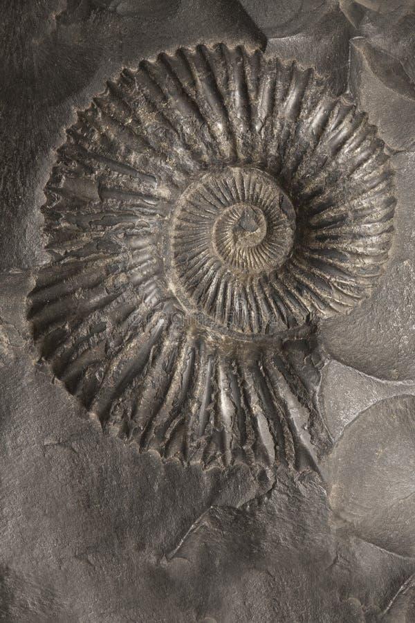 Shell fossilizado da amonite, pedra do saligram fotografia de stock