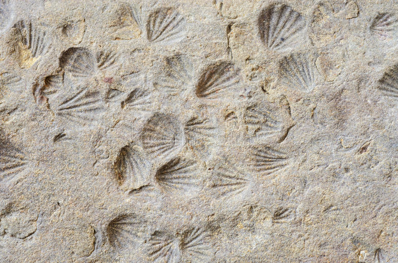 Shell Fossils. Small shell imprint fossils in shale rock royalty free stock photos