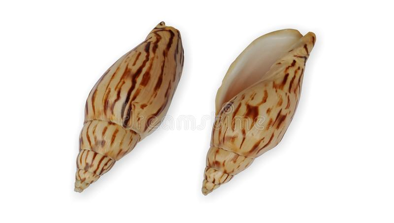 Shell front and back view with white background wallpaper, stock illustration