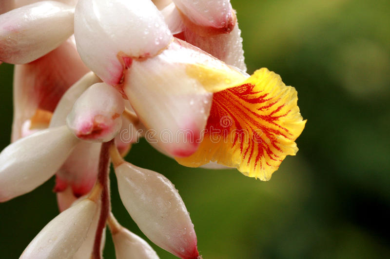 Download Shell Ginger flower stock image. Image of exotic, plant - 13174867