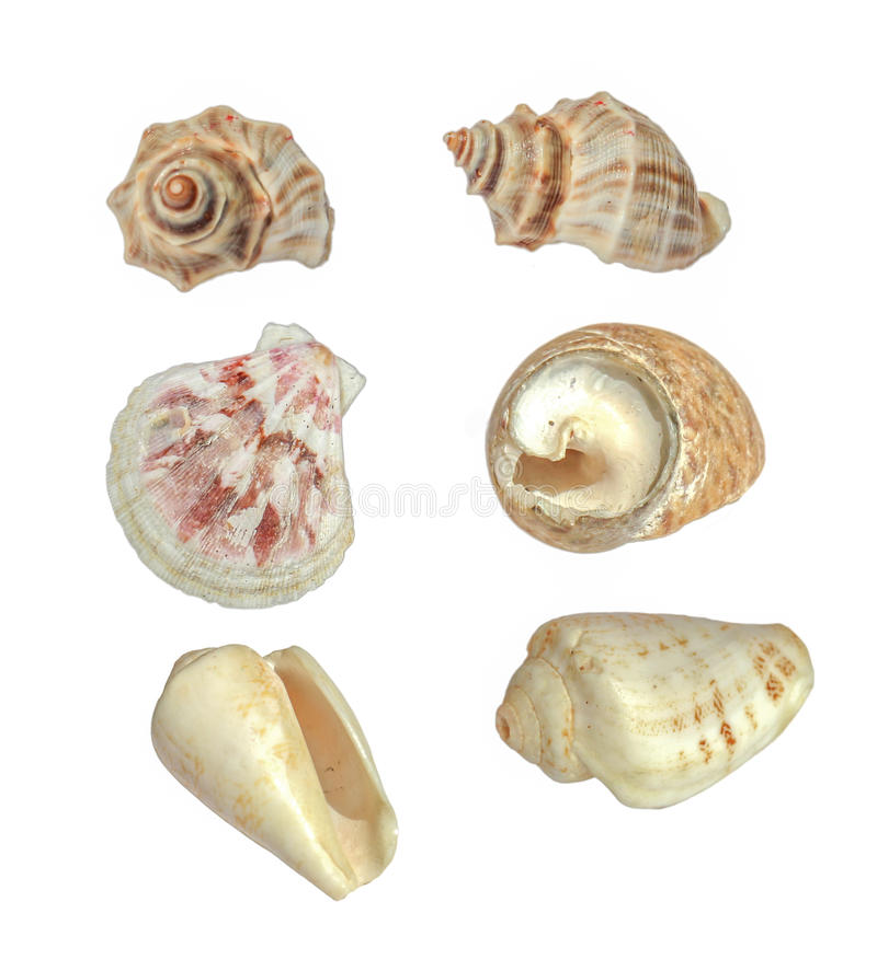 Shell grande do mar isolado no branco imagens de stock royalty free
