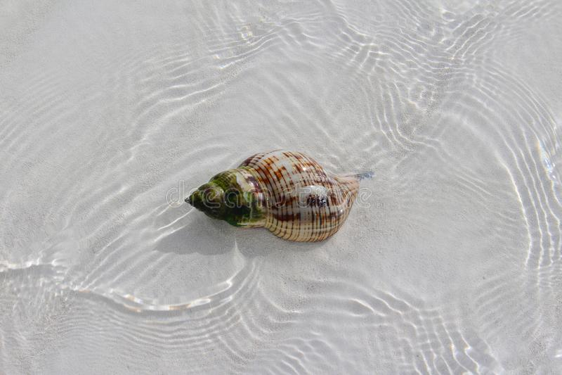 Shell i en strand av en karibisk ö royaltyfri foto