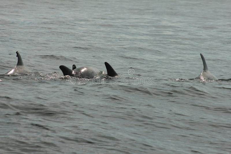 Shell Island, Florida pod dolphins panama city beach royalty free stock photo