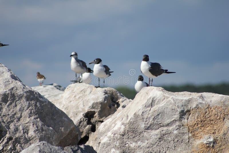 Shell Island, gabbiani di Florida sulla spiaggia di Panama City delle rocce fotografie stock