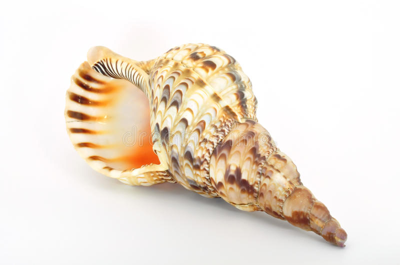 Download Shell Large With Opening Left Stock Photo - Image: 15837746