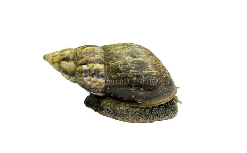 Shell lento do cabo do rastejamento grande do caracol marrom imagem de stock