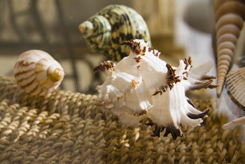 Shell marinhos fotografia de stock royalty free