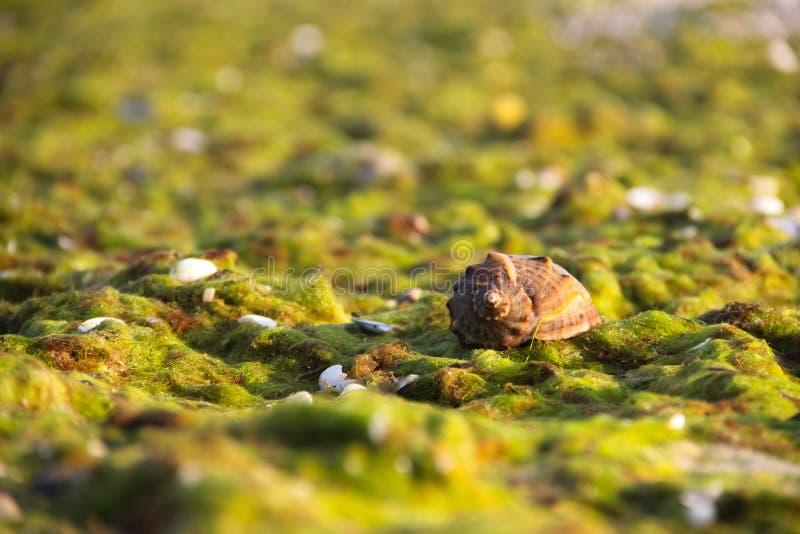 Shell med havsväxt arkivfoto