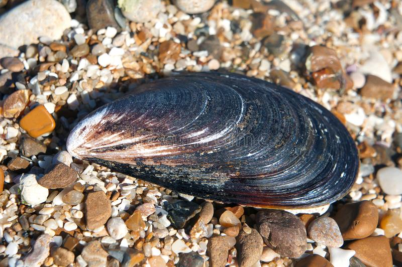 Shell-Miesmuscheln auf Steinen lizenzfreies stockbild