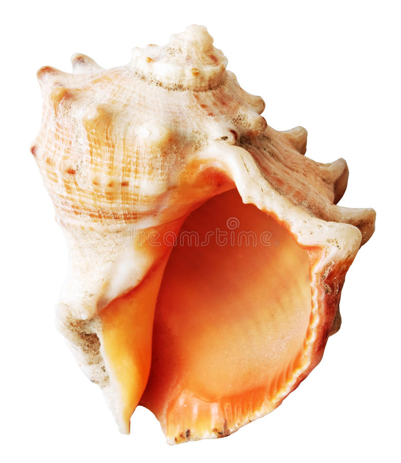 Shell mollusks isolated. On white background with clipping path royalty free stock photos
